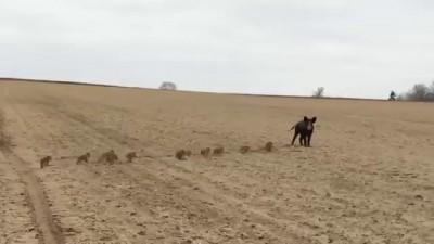 Семья диких кабанов бежит через поле