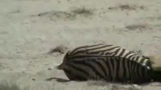 Zebra fights Lion and Wins