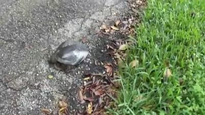 Черепаха атакует