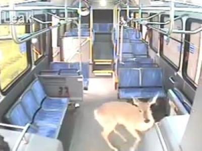 Водитель автобуса сбивает оленя