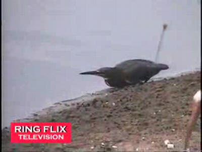 Птица-рыбак