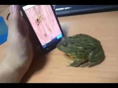 Жаба играет на Iphone