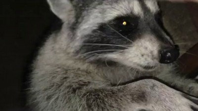 BIG Tame Wild Raccoon to Pet
