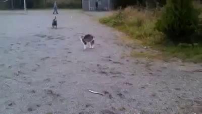 Схватка кота и собаки (эпическая концовка)