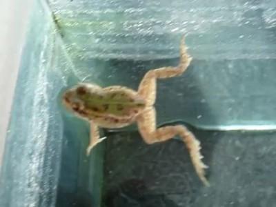 красноухая черепаха VS болотная жаба