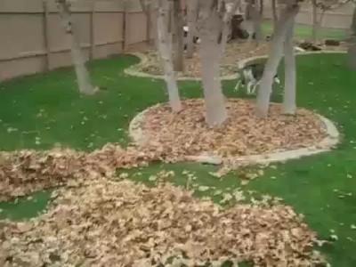 Хаски и большая куча листьев .