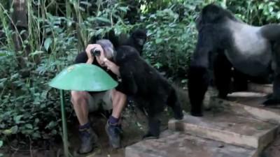 Горные гориллы изучают человека