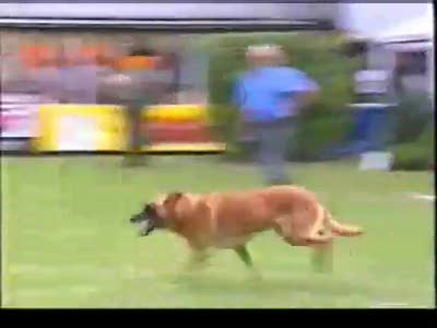 Dances with Malinois. Belgian RING (part1)