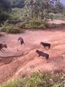 собаки змею обижаки
