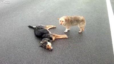 Собаки не оставляют погибшего друга ...