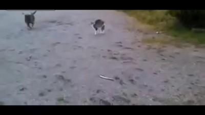 Американский стоффордширский терьер против кота .
