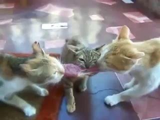 3 кошки и кусок мяса.