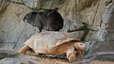 Катание на черепахе