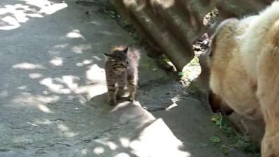Алабай и котенок