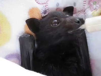 Bat enjoying smoothie