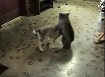 Медвежонок и волчонок играются