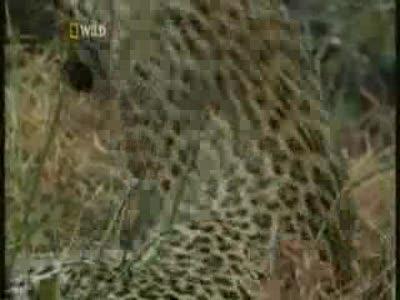 леопарды могут быть и такими