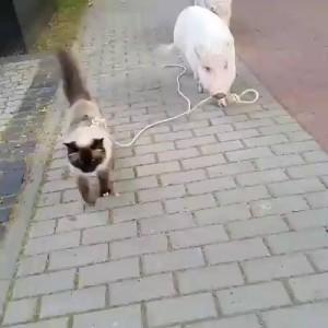 свин пасет
