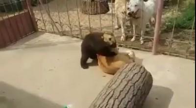 Борцуха медведь