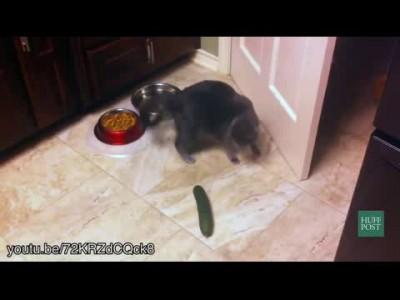 Коты vs Огурцы
