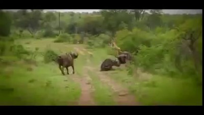 [RAW] Buffalo Throws Lion Into Air -Helps Friend Buffalo-Saves From Being Eaten By Lion