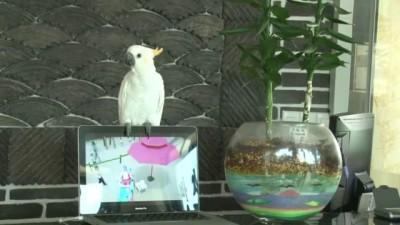 Попугай поёт Gangnam style