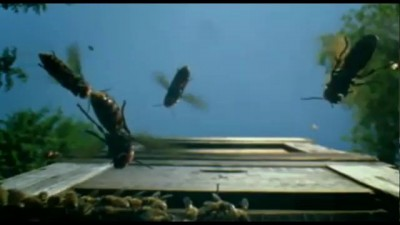 30 Japanese Hornets Battle 30,000 Bees. EPIC MUSIC