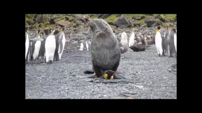 Seals having sex with penguins