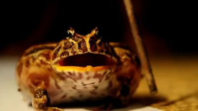 Чакская лягушка