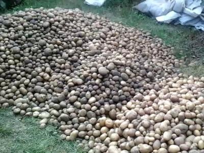 Уражай картошки 2014