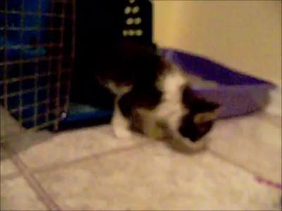 двулапый кот
