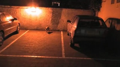 Fox with Cubs in London car park