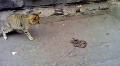 Храбрая кошка против змеи