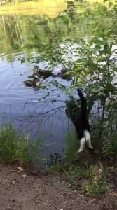 Кот охотится на уток