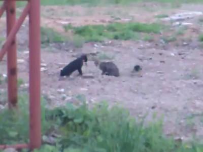 Кот и Ворона деруться с другим Котом