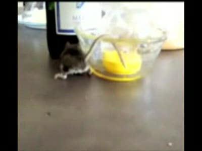 мышка и прлипший хвостик