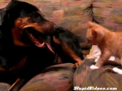 Котенок против ротвейлера