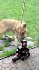 Lion tries to eat baby PART 1.