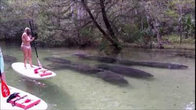 Ламантины в реке 1