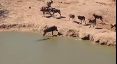 Wild dogs surround warthog but danger also lurks in the water