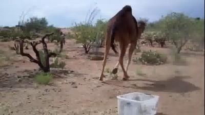 camel_vs_bin
