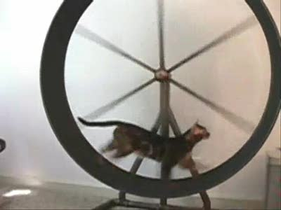 Bengal Cat Fighting for the Exercise Wheel