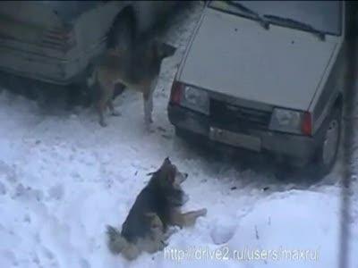 Собаки разгрызают ВАЗ 2109