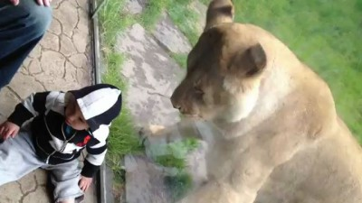 Lion tries to eat baby PART 2.MOV