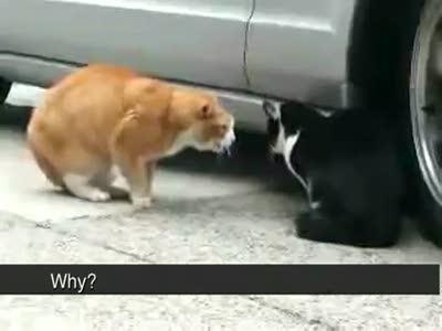 Дикий крик кота