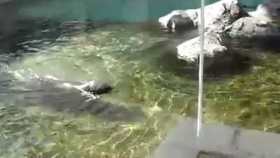 Кричащий тюлень