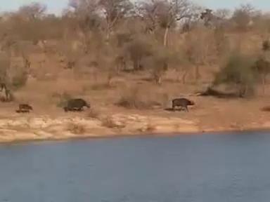 Буйволы против львов и крокодила