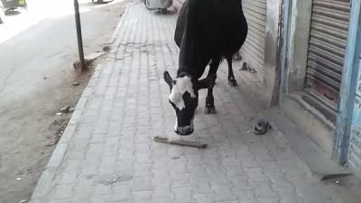 Корова и веник (Индия)