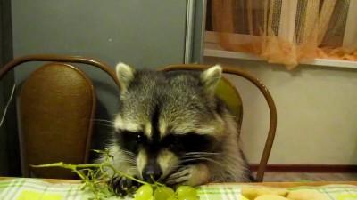 Енот кушает виноград