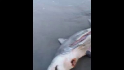 DEAD SHARK GIVES BIRTH TO 3 BABY SHARKS WITH HELP OF GOOD SAMARITAN ON THE BEACH